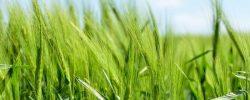 Zelený ječmen – kdy je opravdovým pomocníkem při hubnutí?