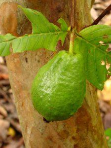 800px-guavavietnamesegiant_kampong2_asit