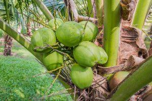 coconut-1036198_960_720