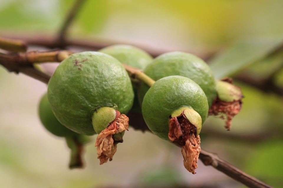 guava-144145_960_720