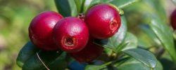 Brusinky jsou nejen sladkou pochoutkou, ale i silným antioxidantem